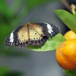 DSC_8891-butterfly