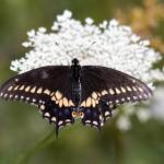 _LAN0326-Black-Swallowtail
