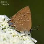 _LND1417-Striped-Hairstreak
