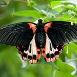 _LND2135-Scarlet-Swallowtai