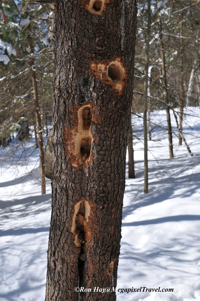 014_9218-Pileated-holes