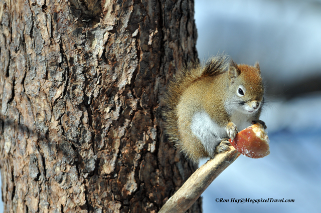 014_9256-Red-Squirrel