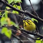 RON_3465-Magnolia-Warbler